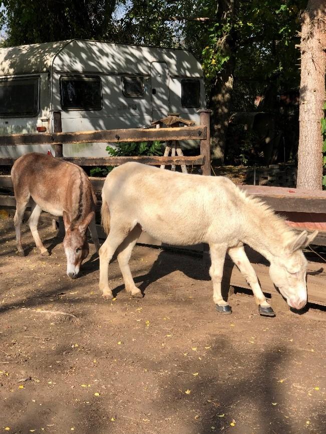 Zwei Esel mit hellem Fell. Im Hintergrund steht ein Wohnwagen. Die Esel stehen in der Sonne, auf fester Erde.