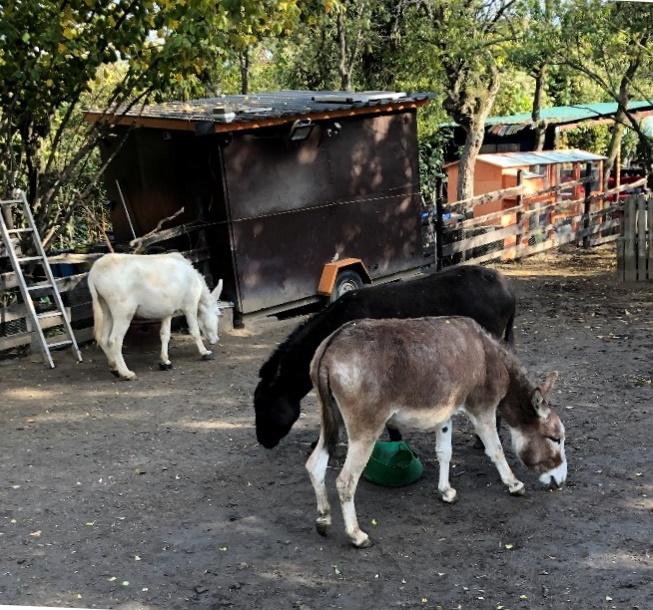 Ein heller, ein dunkler und ein grauer Esel in ihrem Gehege. Die Sonne scheint. Im Hintergrund außerhalb des Gatters sind einige Bauwagen zu sehen. Die Esel grasen, aber aber sie stehen auf blankem Erdboden